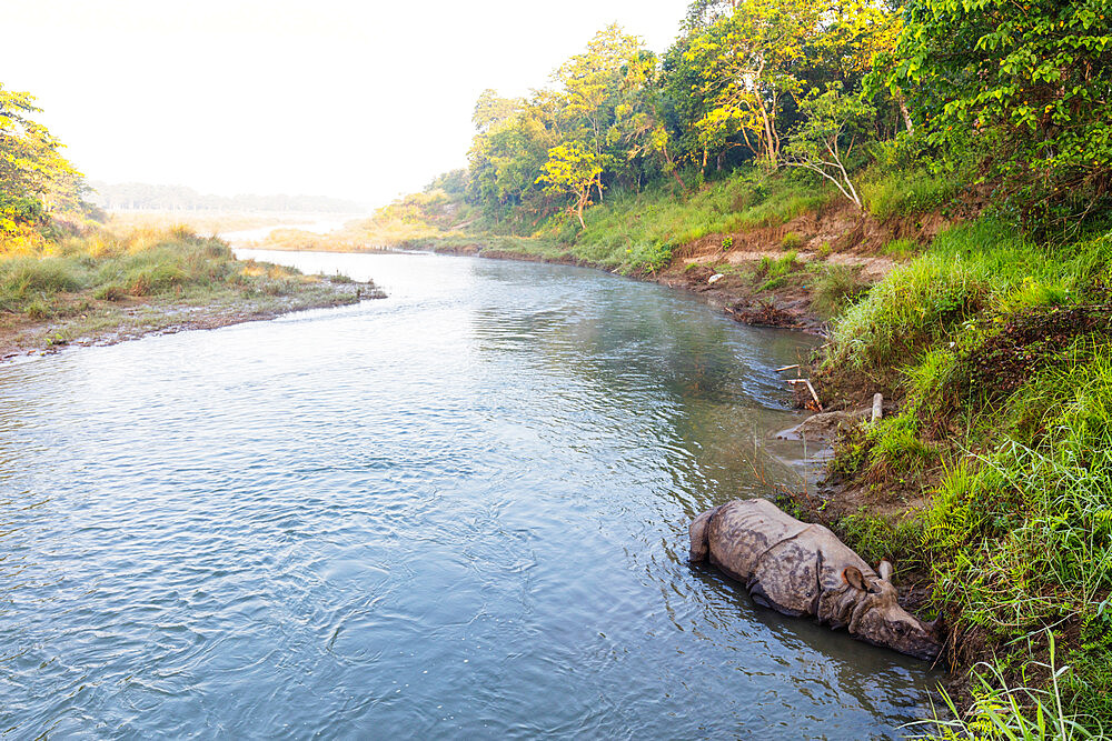 Indian rhinoceros, (Rhinoceros unicornis) sleeping on a river, Chitwan National Park, UNESCO World Heritage Site, Nepal, Asia