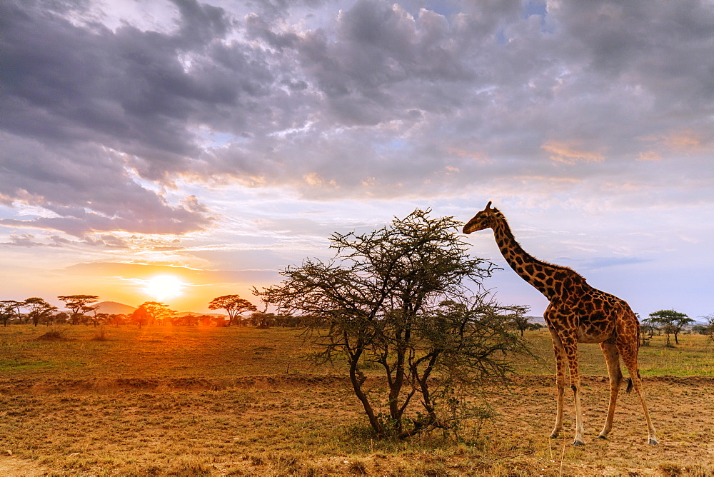 East Africa, Tanzania, Serengeti National Park, Unesco World Heritage site, giraffe (Giraffa camelopardalis) at sunset