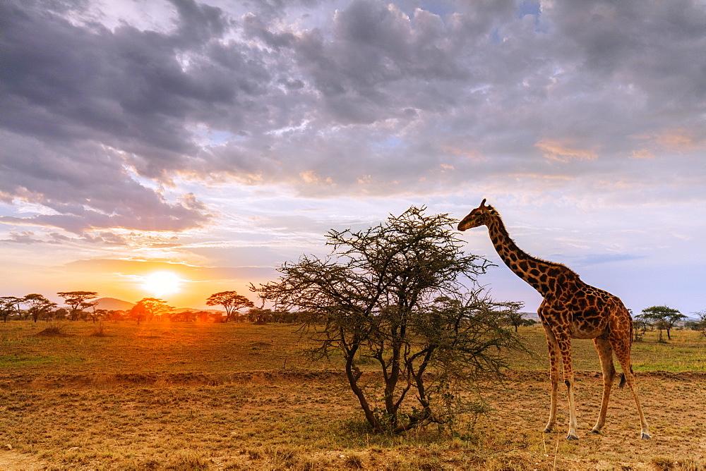 Giraffe (Giraffa camelopardalis) at sunset, Serengeti National Park, UNESCO World Heritage Site, Tanzania, East Africa, Africa