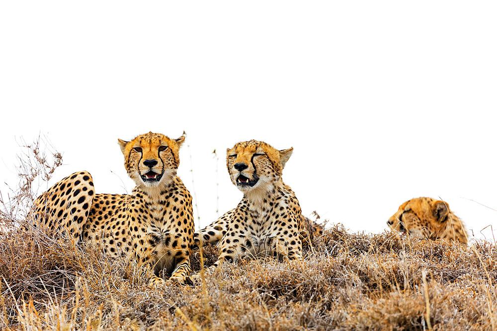 Cheetah (Acinonyx jubatus), Ngorongoro Crater Conservation Area, UNESCO World Heritage Site, Tanzania, East Africa, Africa