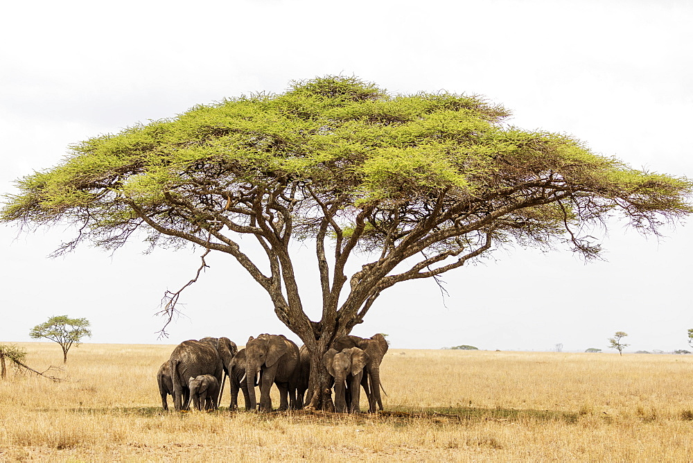 East Africa Tanzania, Serengeti National Park, Unesco, African elephant (Loxodonta) sheltering from the heat under a tree canopy
