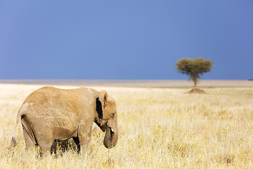 East Africa, Tanzania, safari in the Serengeti National Park, Unesco World Heritage site, African elephant (Loxodonta)