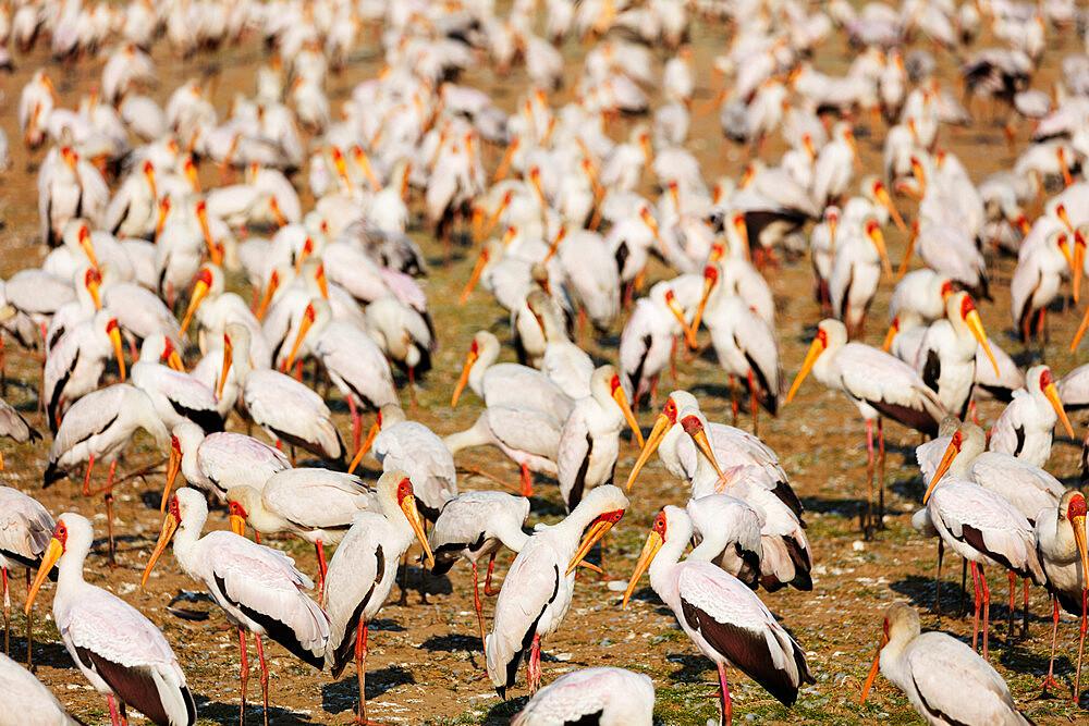 East Africa, Tanzania, safari in Lake Manyara National Park, Yellow billed stork (Mycteria ibis)