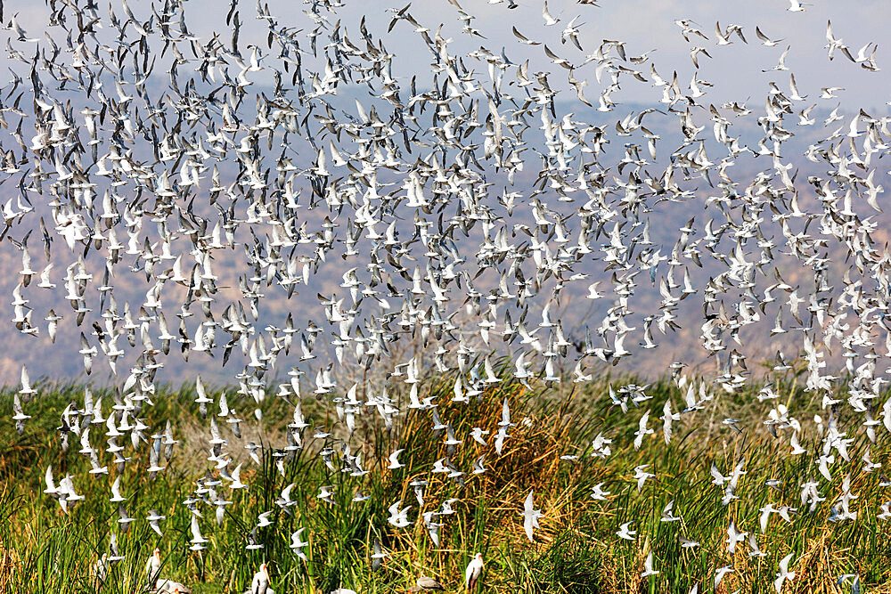 Flock of birds in flight, Lake Manyara National Park, Tanzania, East Africa, Africa