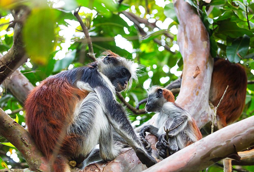 Endemic Red Colobus monkey (Piliocolobus), Jozani Forest, Jozani Chwaka Bay National Park, Island of Zanzibar, Tanzania, East Africa, Africa