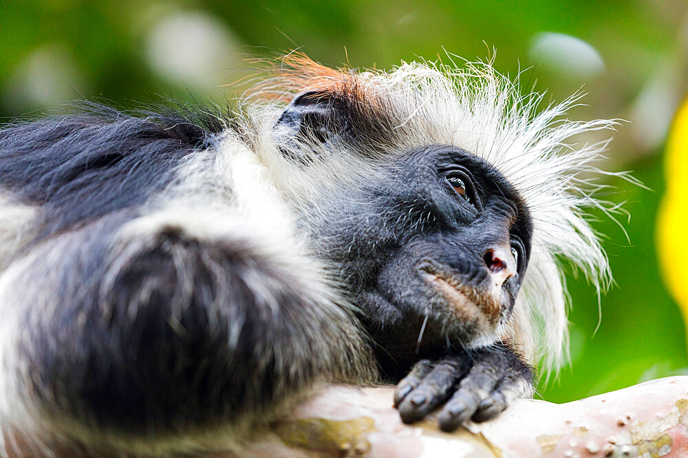 East Africa Tanzania, Zanzibar island, Jozani Chwaka Bay National Park, Jozani forest, endemic Red Colobus monkey (Piliocolobus)