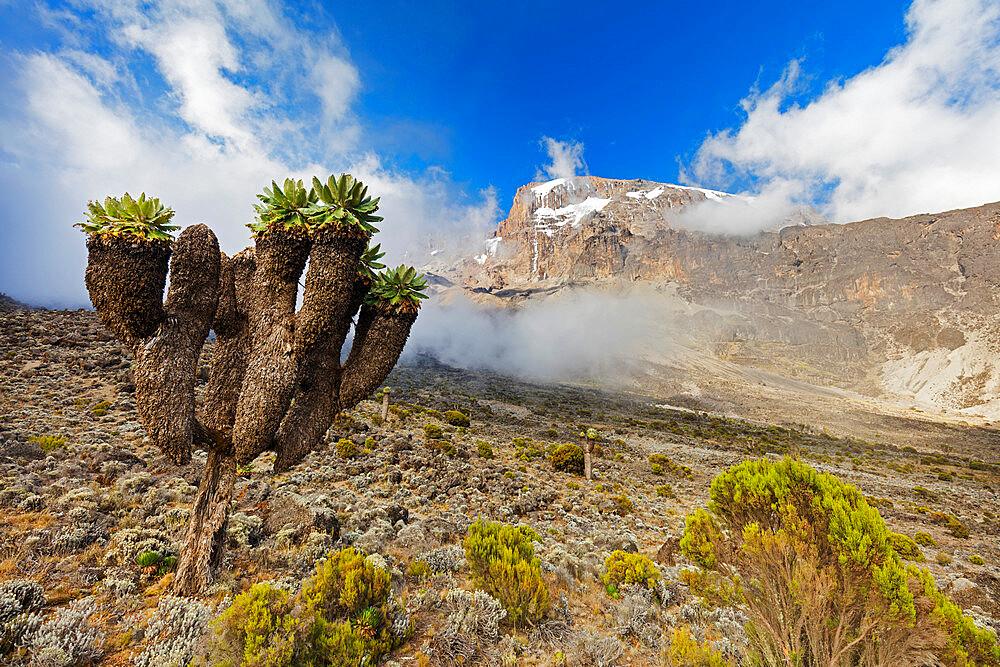 Lobelia morogoroensis plants, Kilimanjaro National Park, UNESCO World Heritage Site, Tanzania, East Africa, Africa