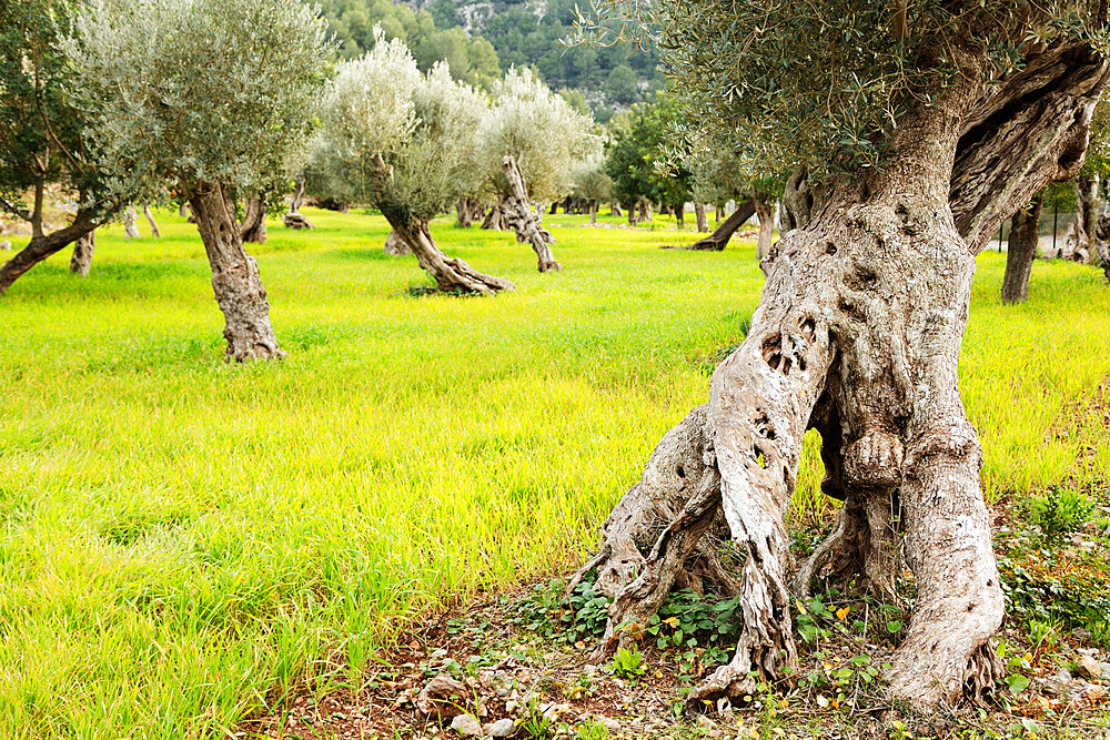Olive tree trunks, Soller, Majorca, Balearic Islands, Spain, Mediterranean, Europe