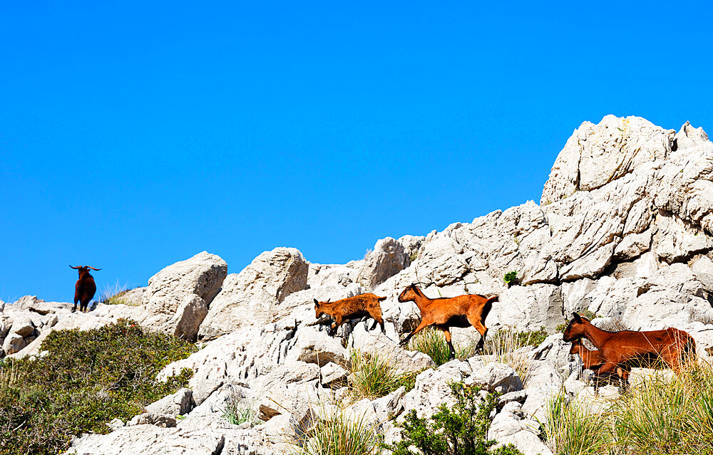 Goats, Majorca, Balearic Islands, Spain, Mediterranean, Europe