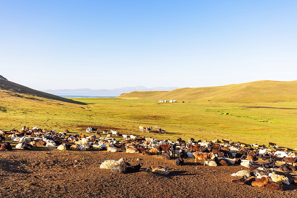 Sheep at Songkol Lake, Kyrgyzstan, Central Asia, Asia