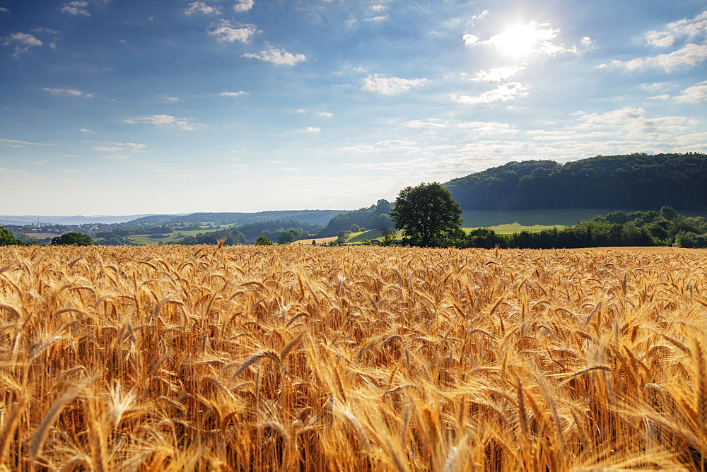 Europe, Czech Republic, wheat field