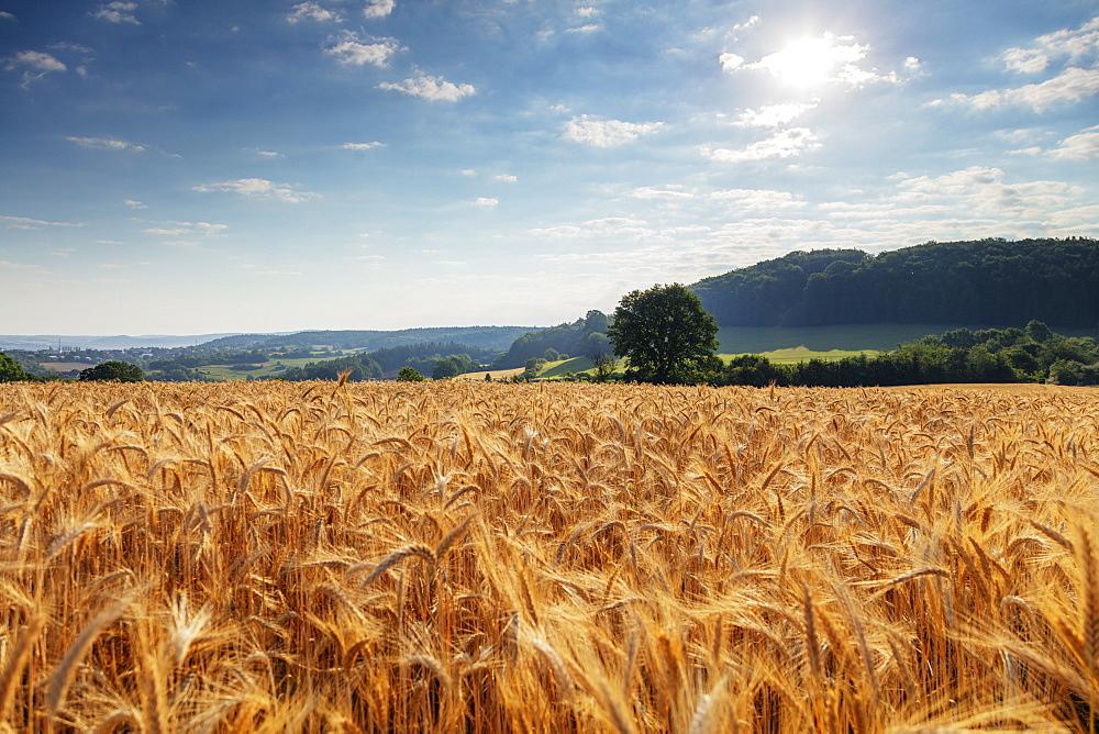 Wheat field, Czech Republic, Europe - 733-8103