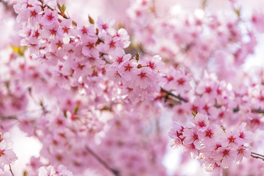 Cherry blossom, Takato, Nagano Prefecture, Honshu, Japan, Asia