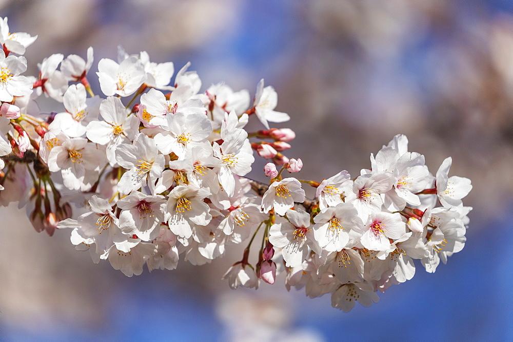 Spring cherry blossoms, Asakusa, Tokyo, Japan, Asia