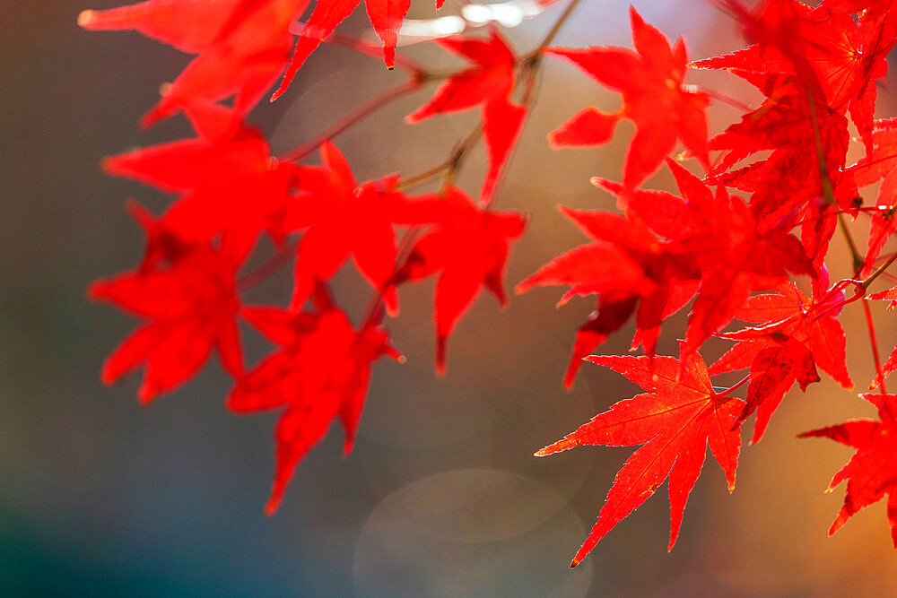 Japan, Kansai, Kyoto, autumn leaves