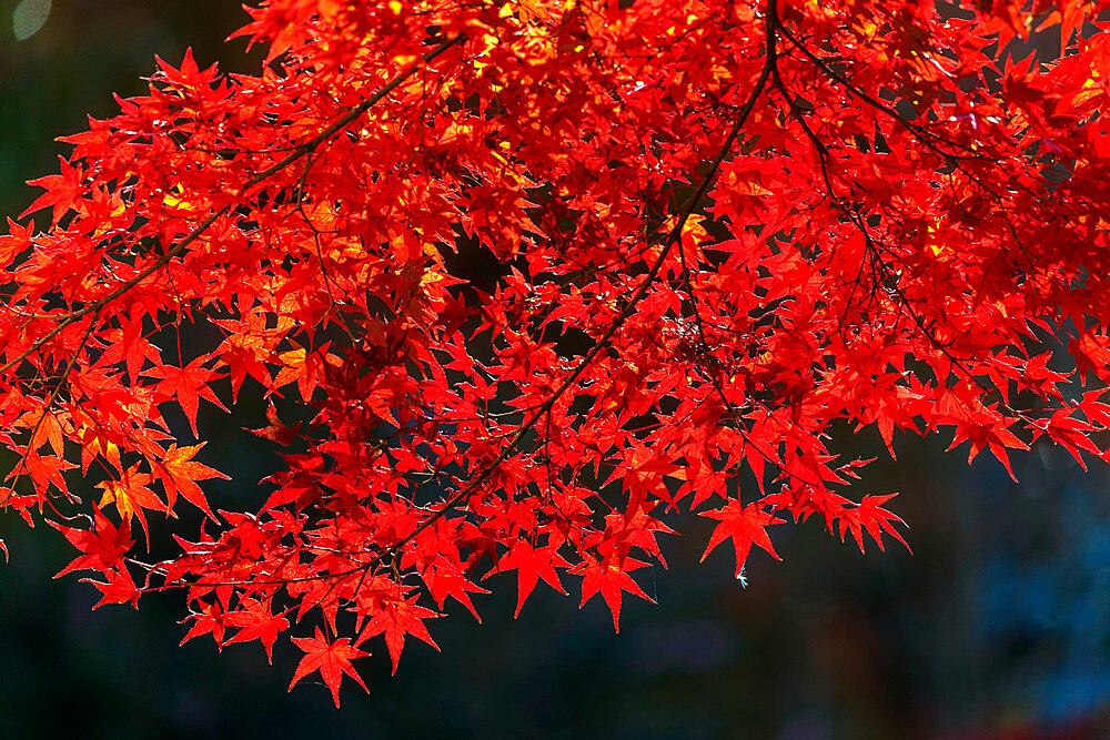 Autumn leaves, Kyoto, Kansai, Japan, Asia