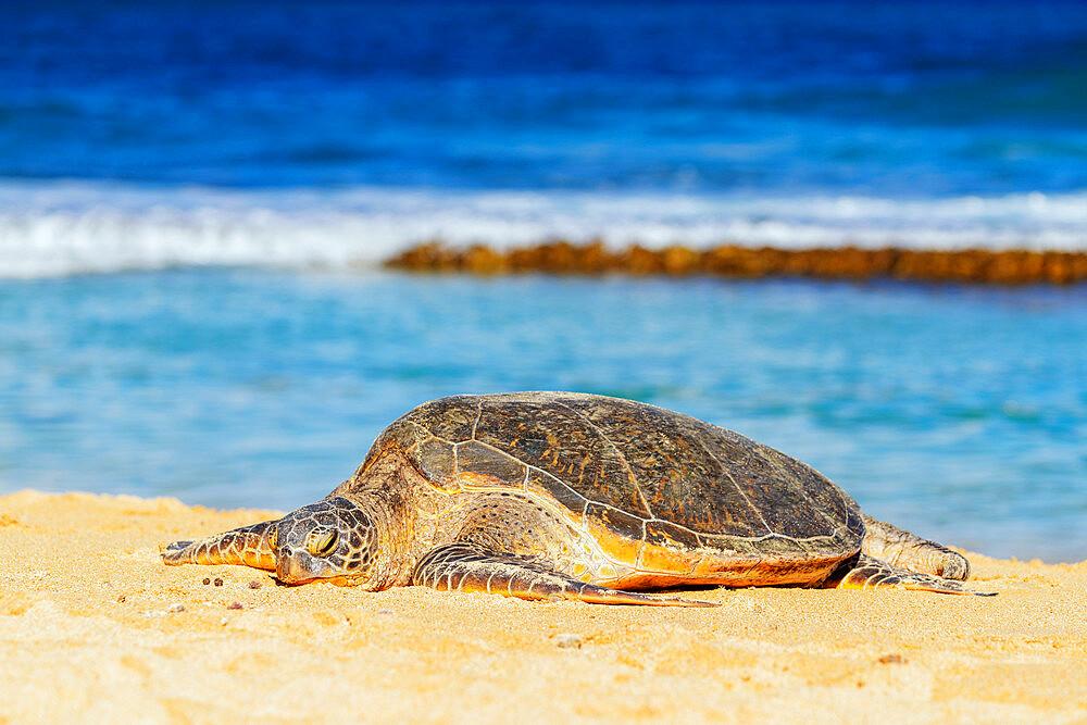 Greenback turtle (Chelonia mydas) on Baldwin Beach, Maui Island, Hawaii, United States of America, North America