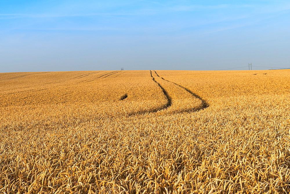 Wheat (Triticum aestivum) field just before harvest, Prezletice, Central Bohemia, Czechia, Europe - 737-715