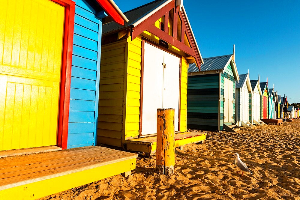 Bathing boxes (beach huts) and Silver gull (Chroicocephalus novaehollandiae) on shores of Port Phillip Bay, Brighton, Victoria, Australia, Pacific - 737-732