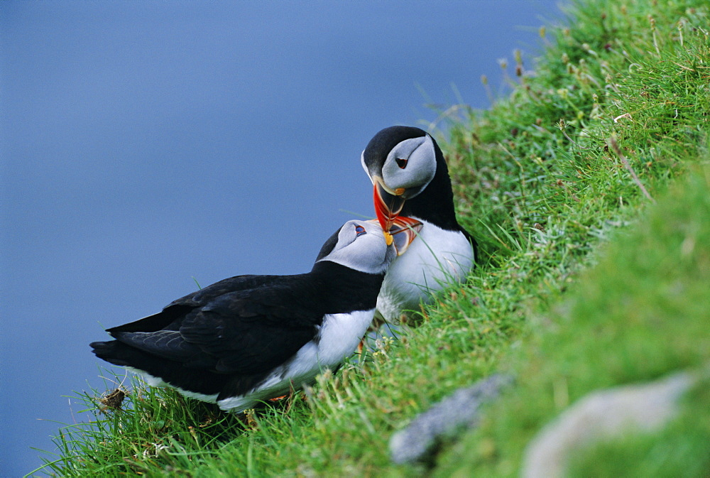 Puffin pair (Fratercula artica) billing, Shetland Islands, Scotland, UK, Europe