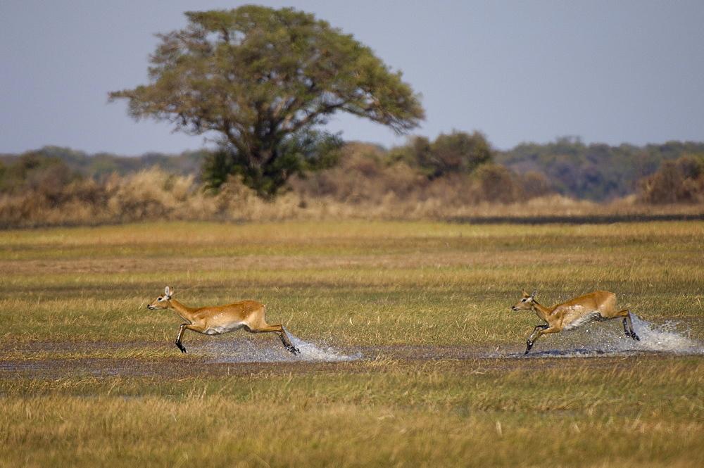 Puku (Kobus vardonii), Busanga Plains, Kafue National Park, Zambia, Africa