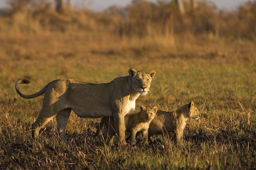 Lioness and cubs, Busanga Plains, Kafue National Park, Zambia, Africa
