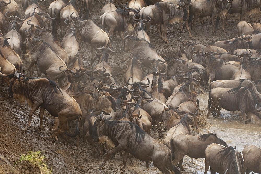 Wildebeest (Connochaetes taurinus), Masai Mara, Kenya, East Africa, Africa - 741-3619