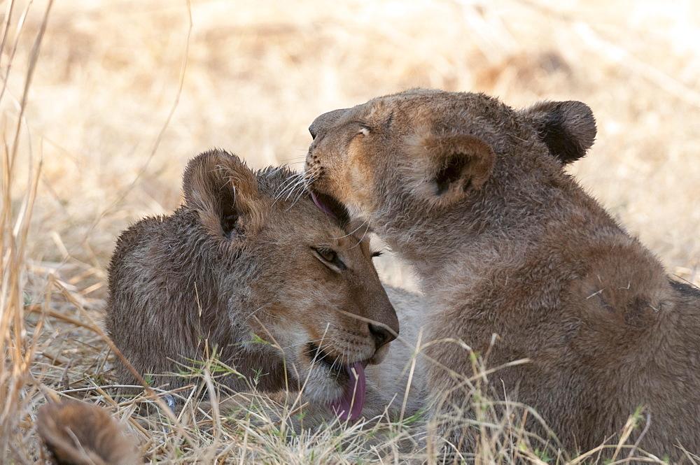 Lions (Panthera leo), Okavango delta, Botswana, Africa