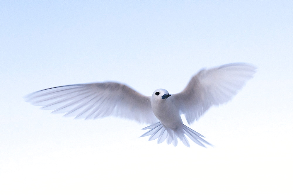 Common white-tern (Gygis alba), Denis Island, Seychelles, Indian Ocean, Africa