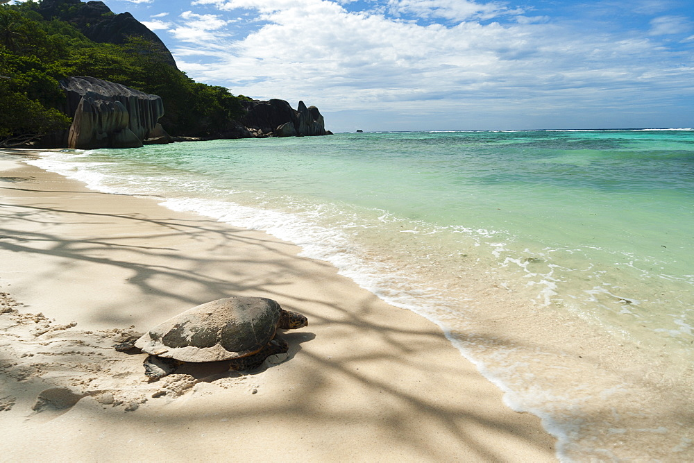 Sea turtle, Anse Source d'Argent beach, La Digue, Seychelles, Indian Ocean, Africa