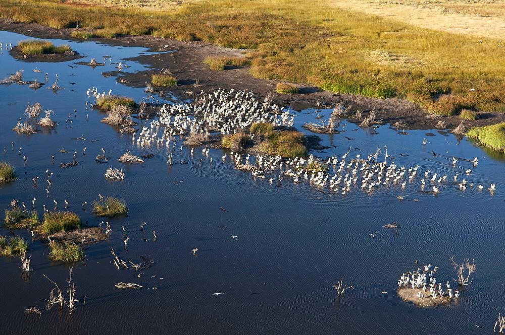 Aerial view of great white pelicans (Pelecanus onocrotalus), Okavango Delta, Botswana, Africa