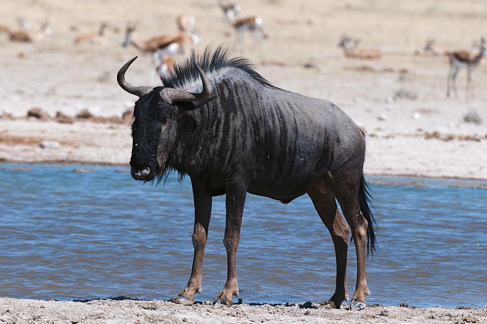 Blue wildebeest (Connochaetes taurinus), Nxai Pan National Park, Botswana, Africa