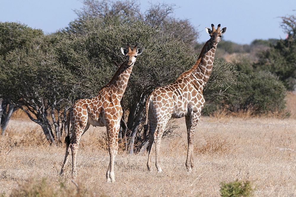 Southern giraffe (Giraffa camelopardalis), Mashatu Game Reserve, Botswana, Africa
