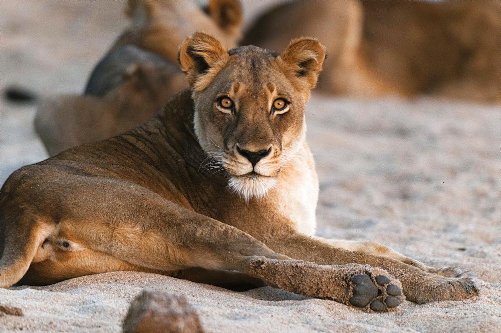 Lion (Panthera leo), Mala Mala Game Reserve, South Africa, Africa