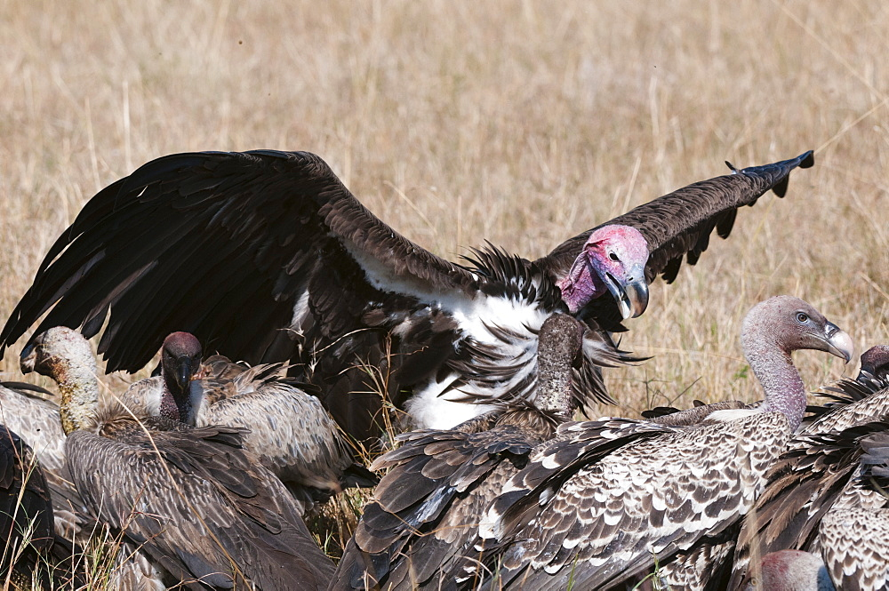 Vultures feeding on a carcass, Masai Mara, Kenya, East Africa, Africa