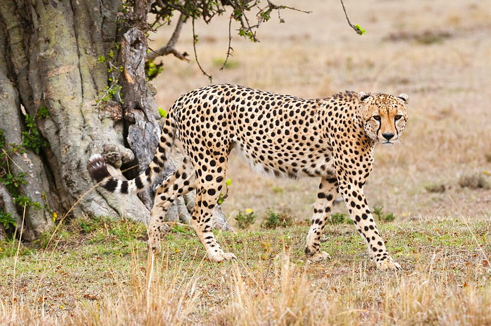 Cheetah (Acinonyx jubatus), Masai Mara, Kenya, East Africa, Africa