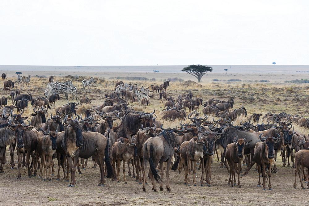 Wildebeest (Connochaetes taurinus) approaching the Mara River, Masai Mara, Kenya, East Africa, Africa