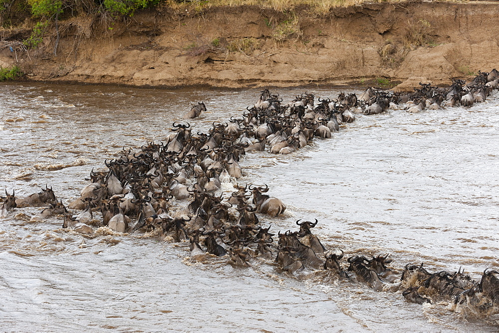 Wildebeest (Connochaetes taurinus) crossing the Mara River, Masai Mara, Kenya, East Africa, Africa