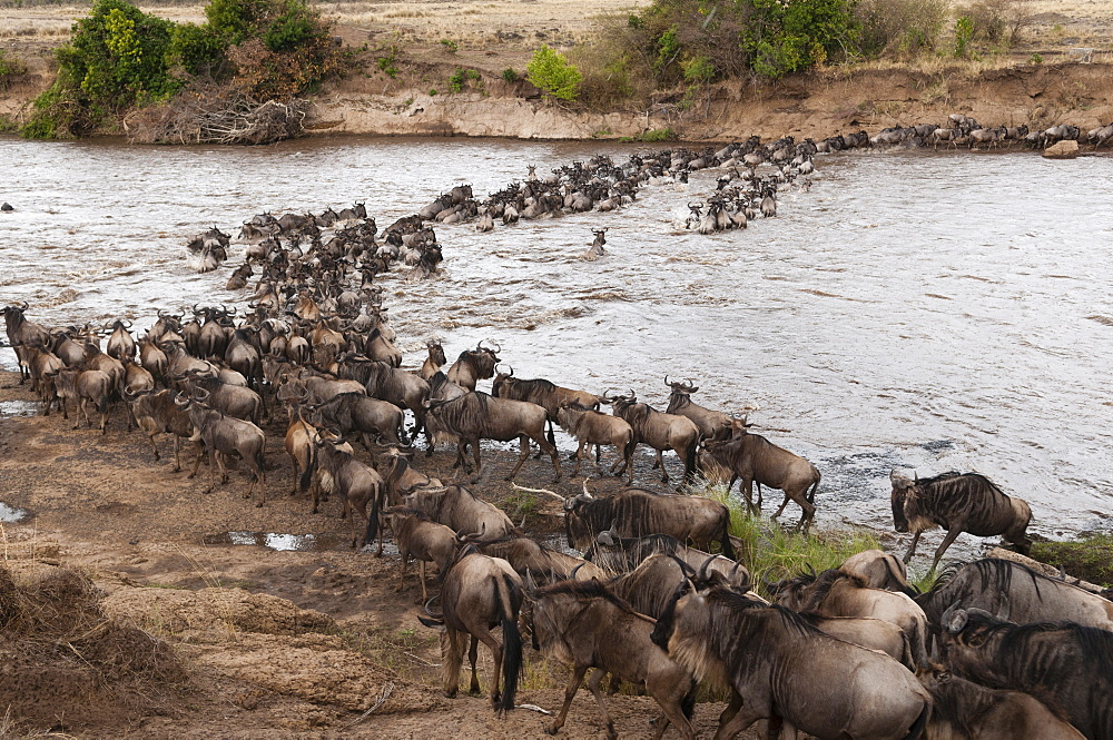 Wildebeest (Connochaetes taurinus) crossing the River Mara, Masai Mara, Kenya, East Africa, Africa