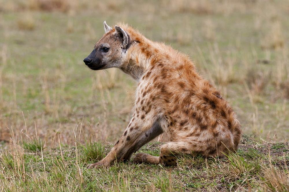 Spotted hyaena (Crocuta crocuta), Masai Mara, Kenya, East Africa, Africa