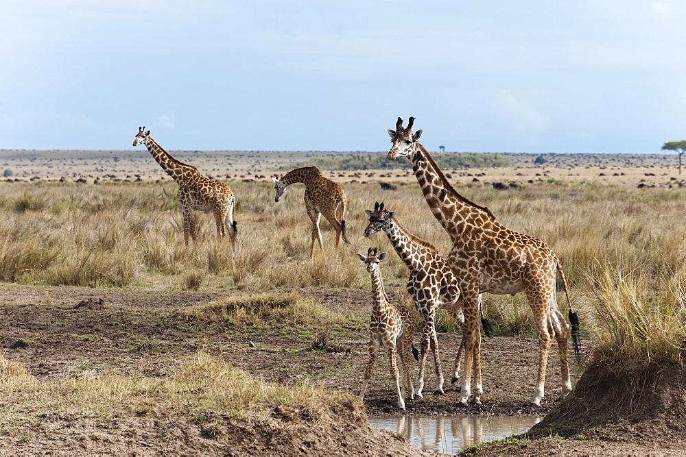 Masai giraffe (Giraffa camelopardalis), Masai Mara, Kenya, East Africa, Africa