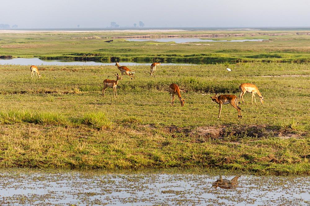 Impala (Aepyceros melampus), Chobe National Park, Botswana, Africa