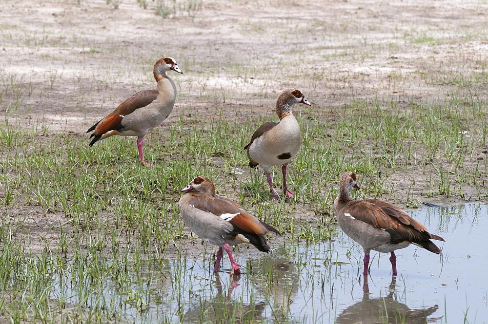 Egyptian geese (Alopochen aegyptiaca), Savuti Marsh area, Chobe National Park, Botswana, Africa