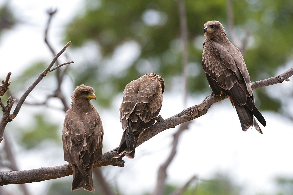 Yellow-billed kite (Milvus parasitus) and black kite (Milvus migrans) perching on a tree, Khwai Concession Area, Okavango Delta, Botswana, Africa