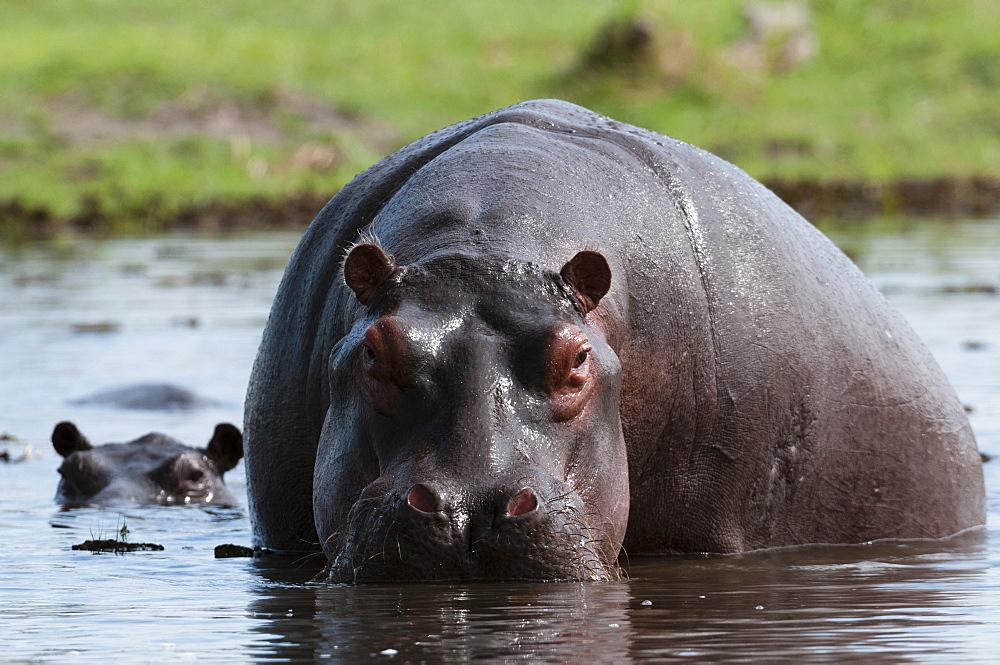 Hippopotamus (Hippopotamus amphibius), Khwai Concession Area, Okavango Delta, Botswana, Africa
