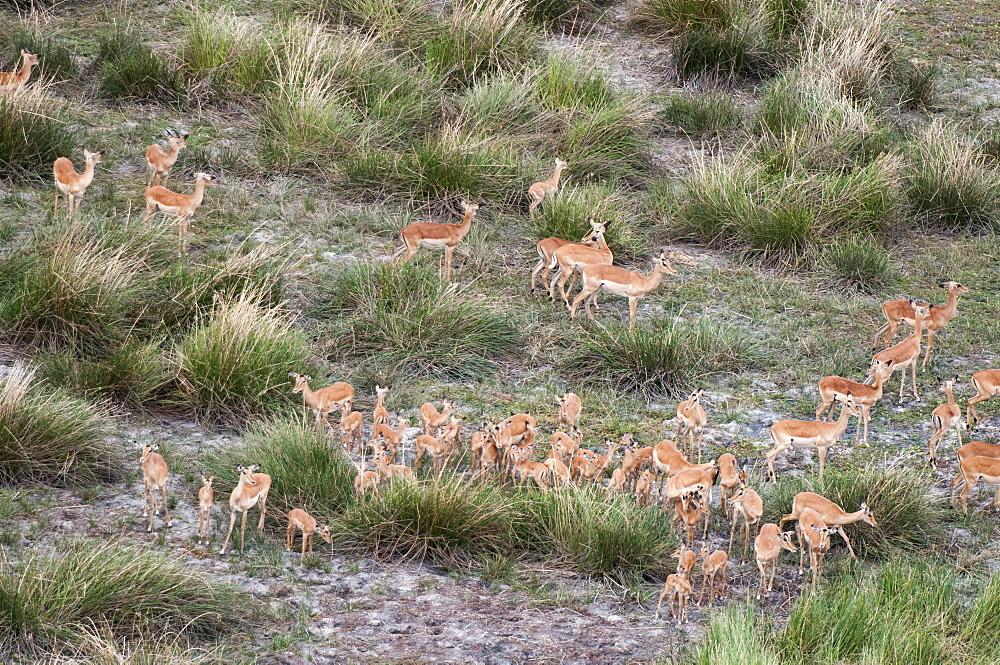 Aerial view of impala herd (Aepyceros melampus), Botswana, Africa