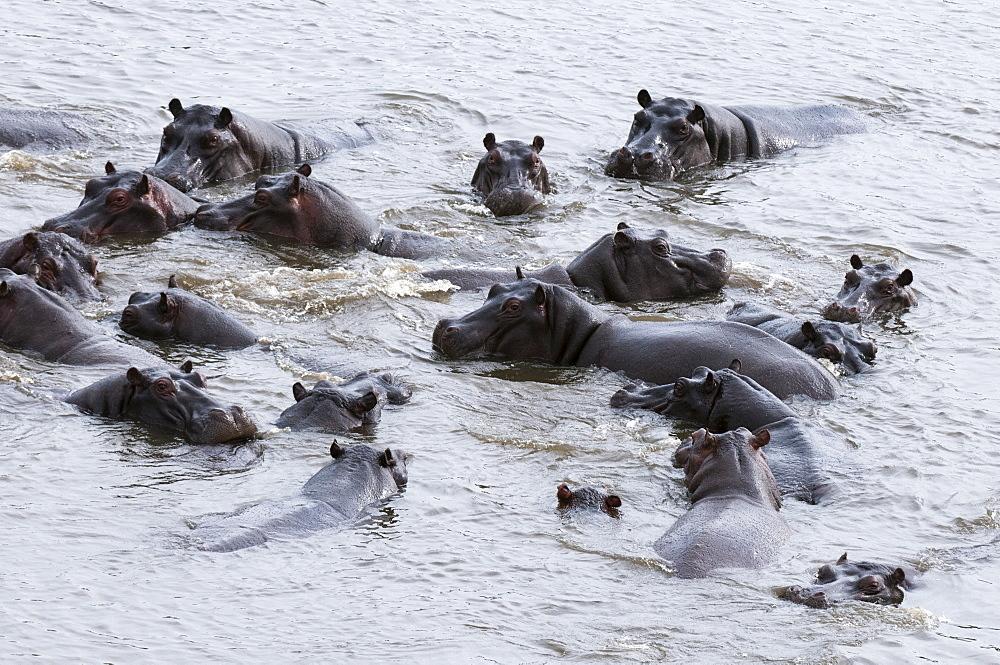 Aerial view of hippopotamuses (Hippopotamus amphibius), Okavango Delta, Botswana, Africa