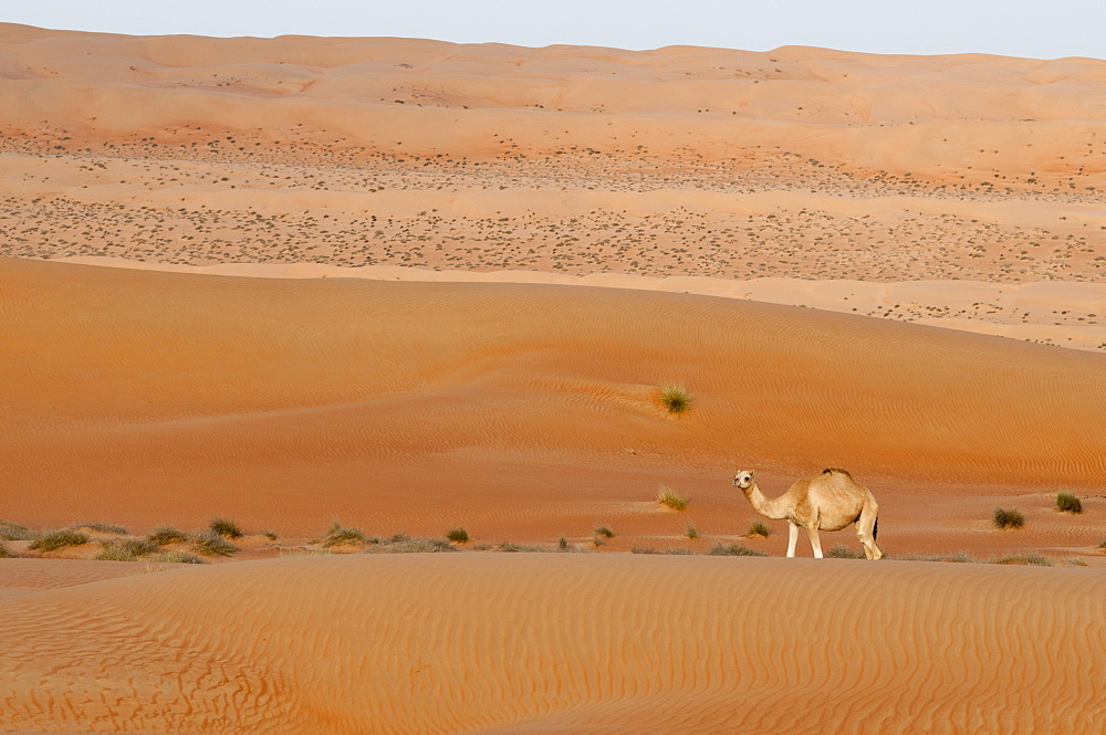 Camel, Wahiba Sands desert, Oman, Middle East