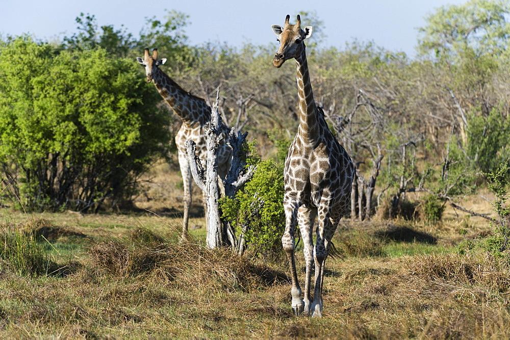 Southern giraffes (Giraffa camelopardalis), Khwai Concession, Okavango Delta, Botswana, Africa