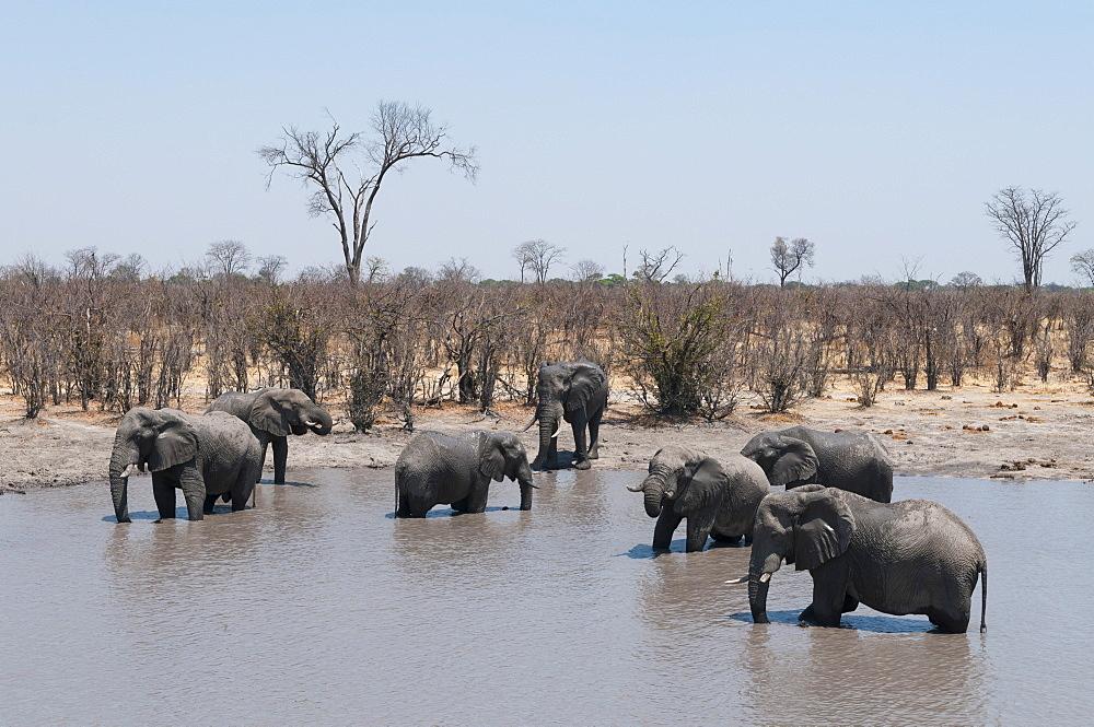 African elephants (Loxodonta africana), Khwai Concession, Okavango Delta, Botswana, Africa